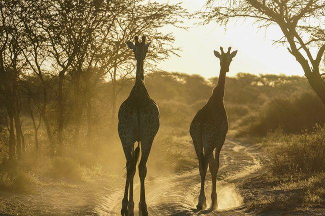 Botswana Khama Rhino Santuary Giraffe
