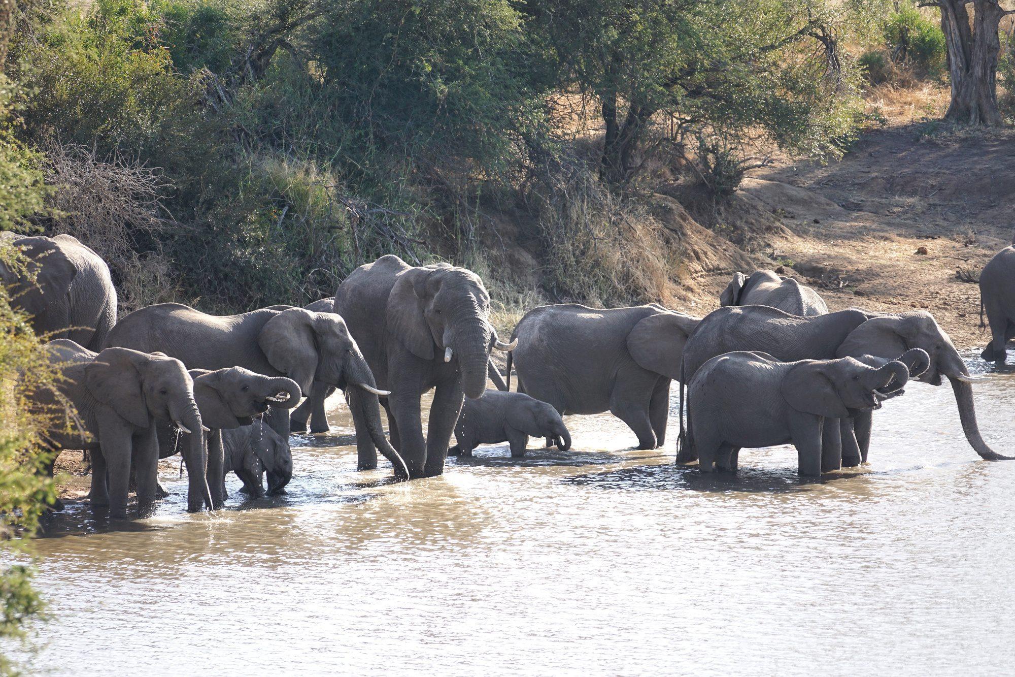 Elephants at Kruger National Park in South Africa