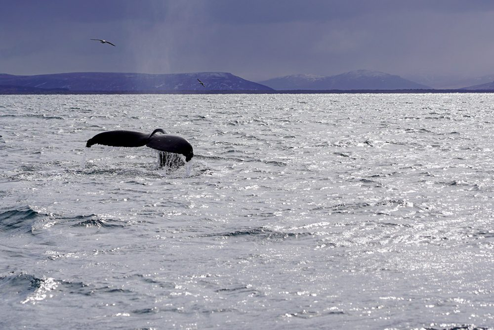 Husavik Iceland Whale Watching